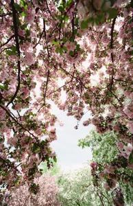 Arbres Columnar Floraison Prunus