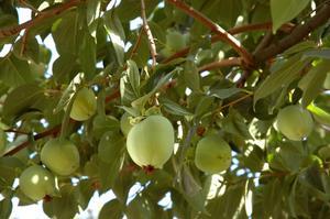 Pesticides pour arbres fruitiers