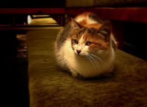 Comment vétérinaires euthanasier les chats?