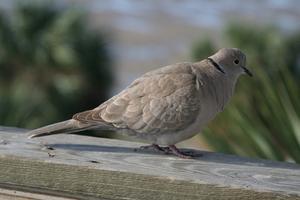 Instructions pour construire un nid pour une Dove Ringneck