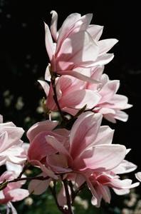 Quand Couper un arbre Magnolia