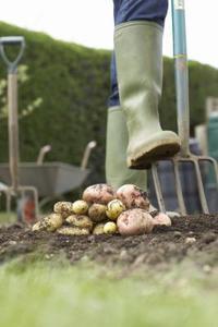 Potato contrôle des mauvaises herbes