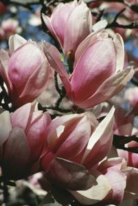comment tuer un magnolia. Black Bedroom Furniture Sets. Home Design Ideas