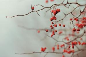 Comment identifier un arbre aux fruits rouges