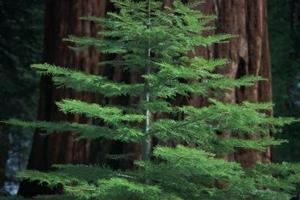 Pourquoi Mon Arbre de Redwood tourne Brown?