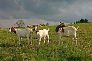 Comment acheter 4-H chèvres à vendre