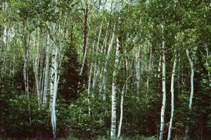 Miniature arbres Bouleau