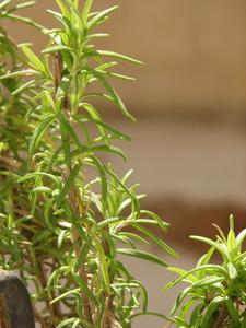 Comment prendre soin d'un arbre Rosemary
