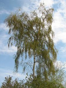 Comment tailler Betula