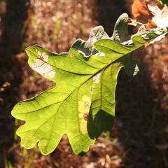 Guide d'identification des feuilles pour les enfants