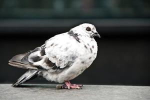 Comment construire un walk-in volière extérieure pour les pigeons