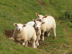 Comment construire des abris pour moutons Quonset cabane