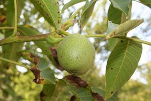 Moyens faciles à craquer Hickory Nuts