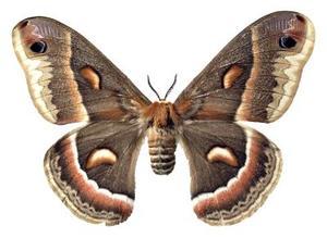 Arbres hôtes pour Cecropia Moth