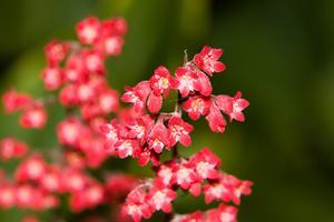 entretien des plantes Heuchera
