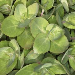 Identification des plantes succulentes en fleurs