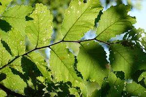 Comment puis-je identifier Elm arbres au printemps?