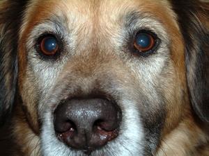 Les antihistaminiques naturel pour les chiens