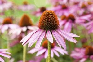 Comment prendre soin de Echinacea purpurea
