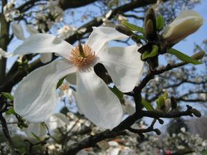Noir Bark moisissure sur Magnolia buissons
