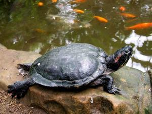 Eau habitat de la tortue