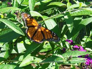 Les variétés de la brousse papillon nain