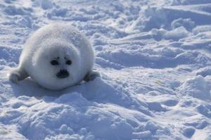 Comment faire un don pour arrêter Clubbing Seal