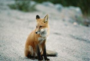 Comment Repel Foxes