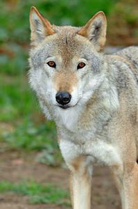 Loup Masque Artisanat