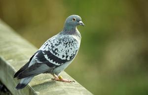 Comment se débarrasser des pigeons et étourneaux