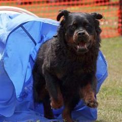 Sur l'équipement Agilité pour chiens