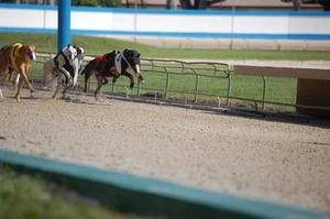 Blessures détachement Tendon dans Greyhounds