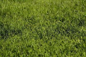 Les mauvaises herbes à gazon Géorgie communes