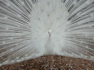 Paon blanc information oiseaux