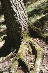Comment jeter une passerelle sur une racine d'arbre