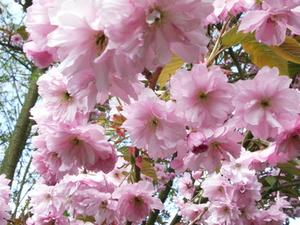 Double Weeping Cherry Tree description