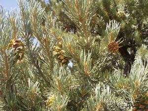 Comment ne noix de pin poussent?
