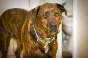 Les remèdes homéopathiques pour ACL chez les chiens