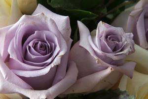 Qu'est-ce que Violet Roses symbolisent?