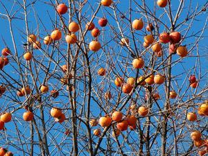 Arbres fruitiers en Alabama