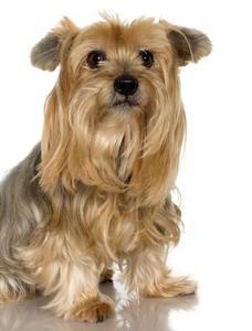 Comment obtenir enchevêtrements de cheveux d'un chien Yorkie
