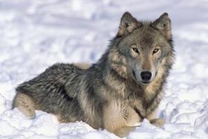 Comment dessiner les loups pour les débutants