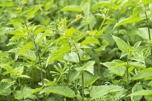 Comment puis-je faire la présure d'origine végétale?