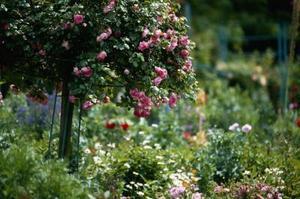 La norme Arbre Rose: Hardy ou mort?
