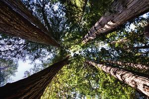 Plantes indigènes dans les Redwoods de Californie Sierra Mountain