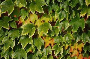 Comment faire pousser Boston Ivy