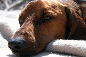 Surdosage métronidazole chez les chiens