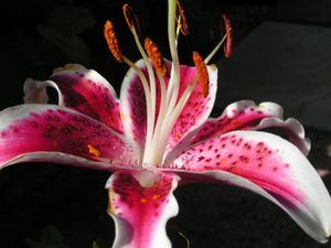 Comment faire Pastillage Stargazer Lillies