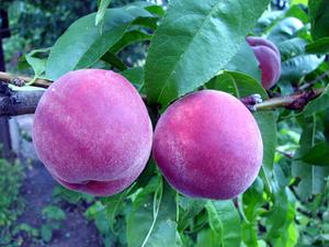 Comment prendre soin de Baby Peach Trees en été