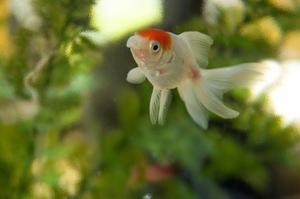 Comment faire pour guérir les poissons rouges avec ick